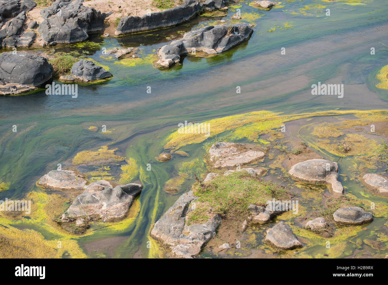 Algal growth in a river due to the level dropping so low during a drought - Stock Image