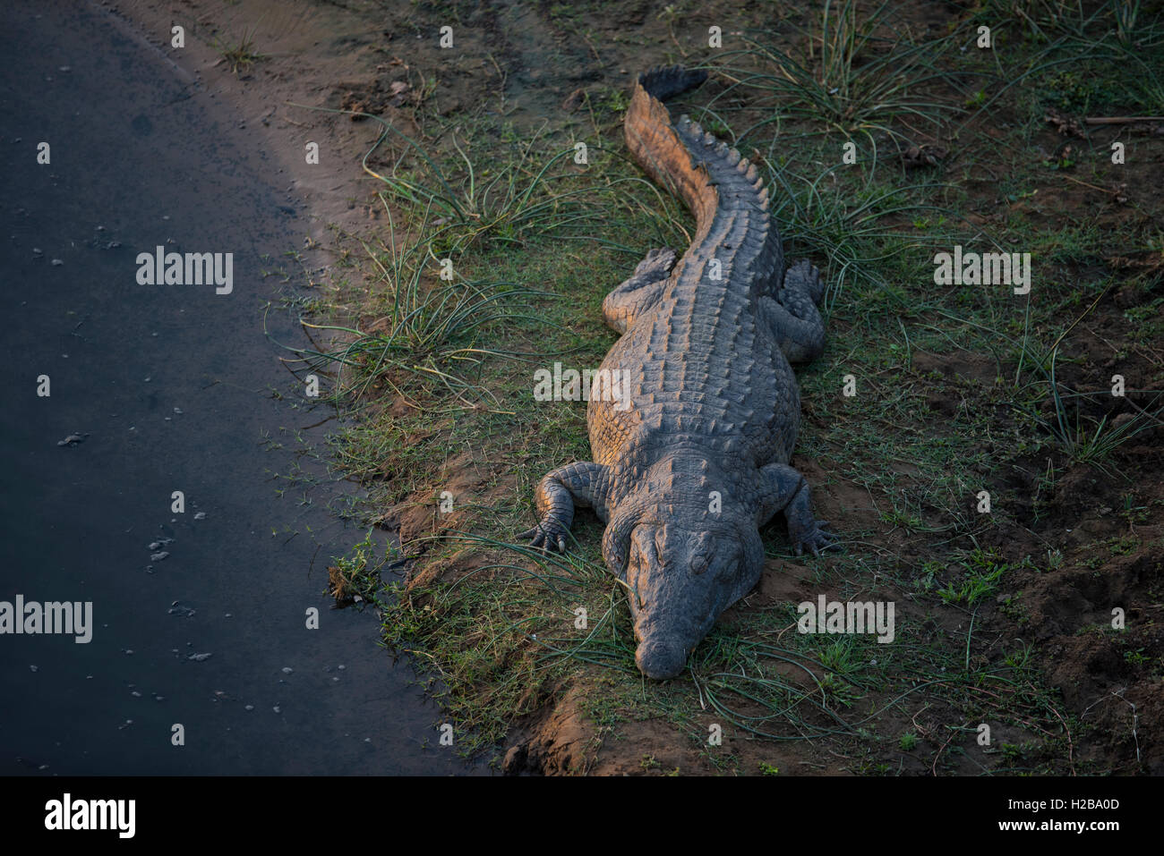 A massive crocodile enjoying the last of the golden rays of the afternoon along the Crocodile River - Stock Image