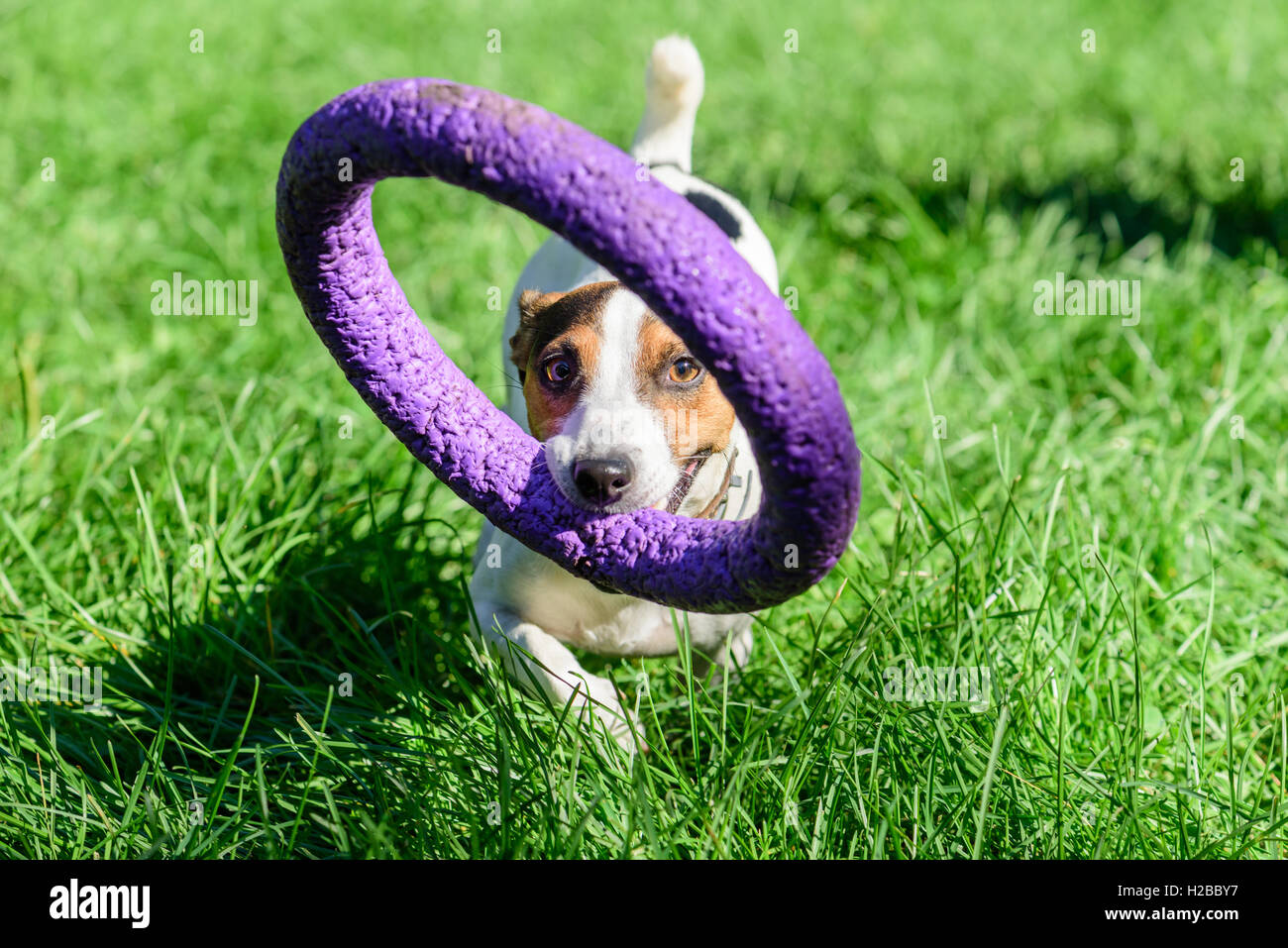 Dog carrying big toy inviting you to play - Stock Image