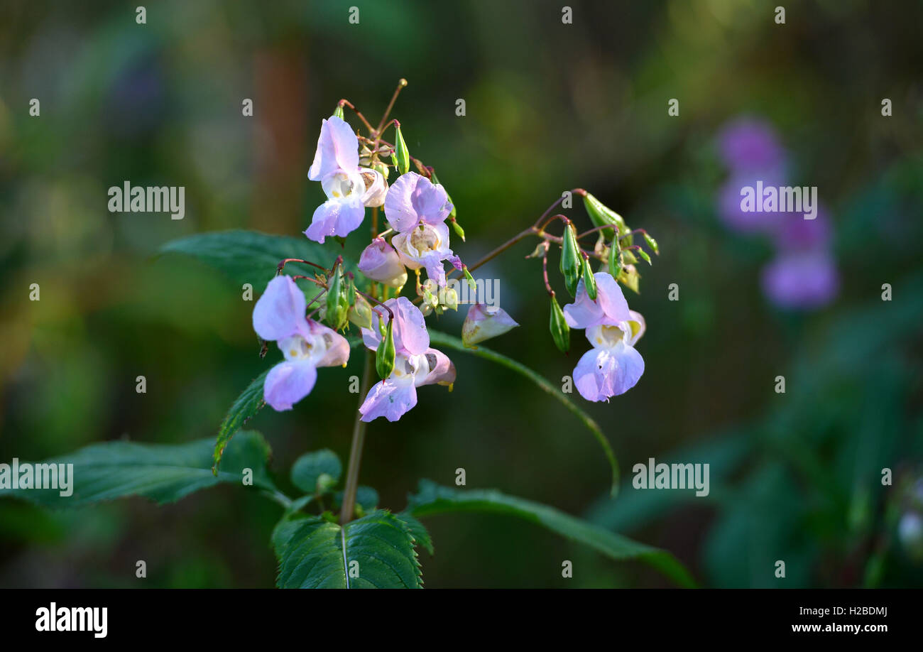 Himalayan balsam - an invasive species in UK - Stock Image