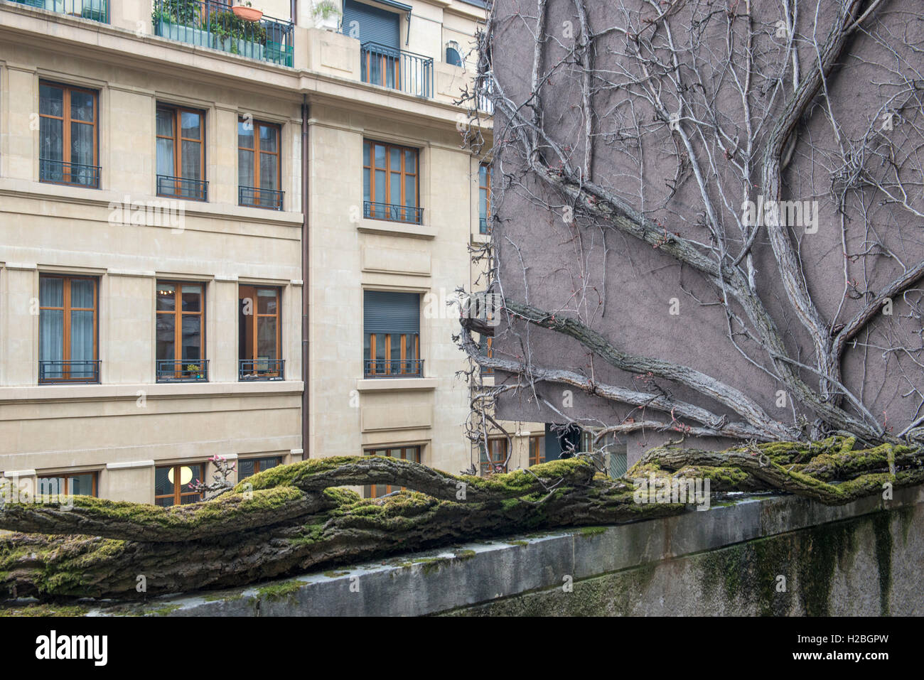 Leafless creeper climbing a balcony and house wall, old town of Geneva, Switzerland - Stock Image