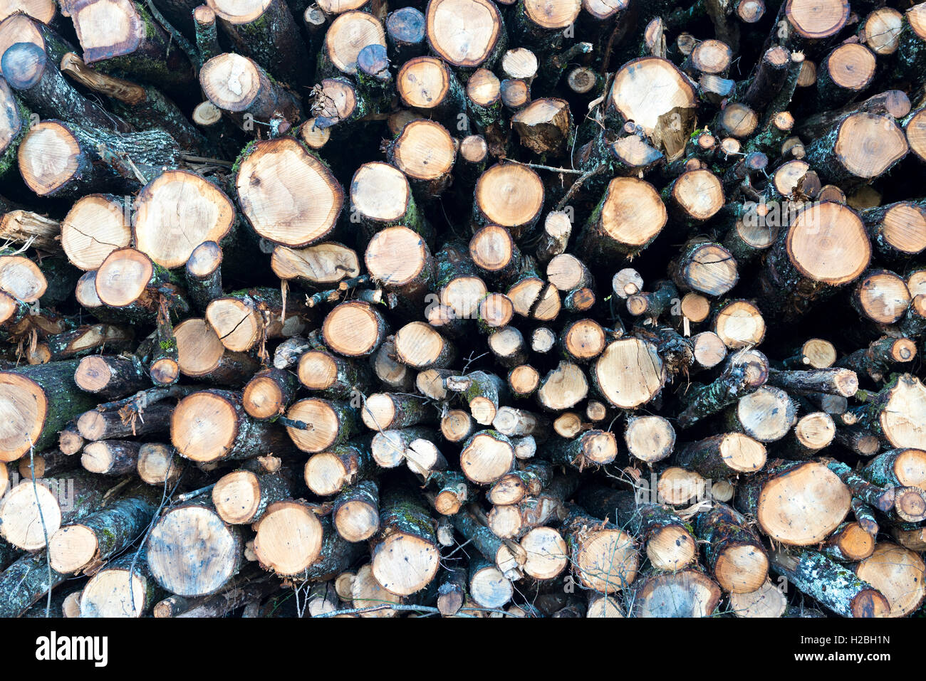 Stacked logs in the forest of Bogis-Bossey, Vaud, Switzerland - Stock Image