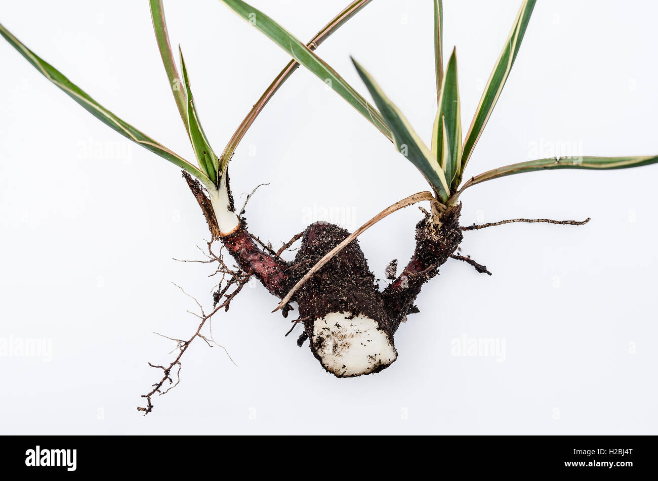 Section of a cordyline rhizome prepared for a trial propagation - Stock Image