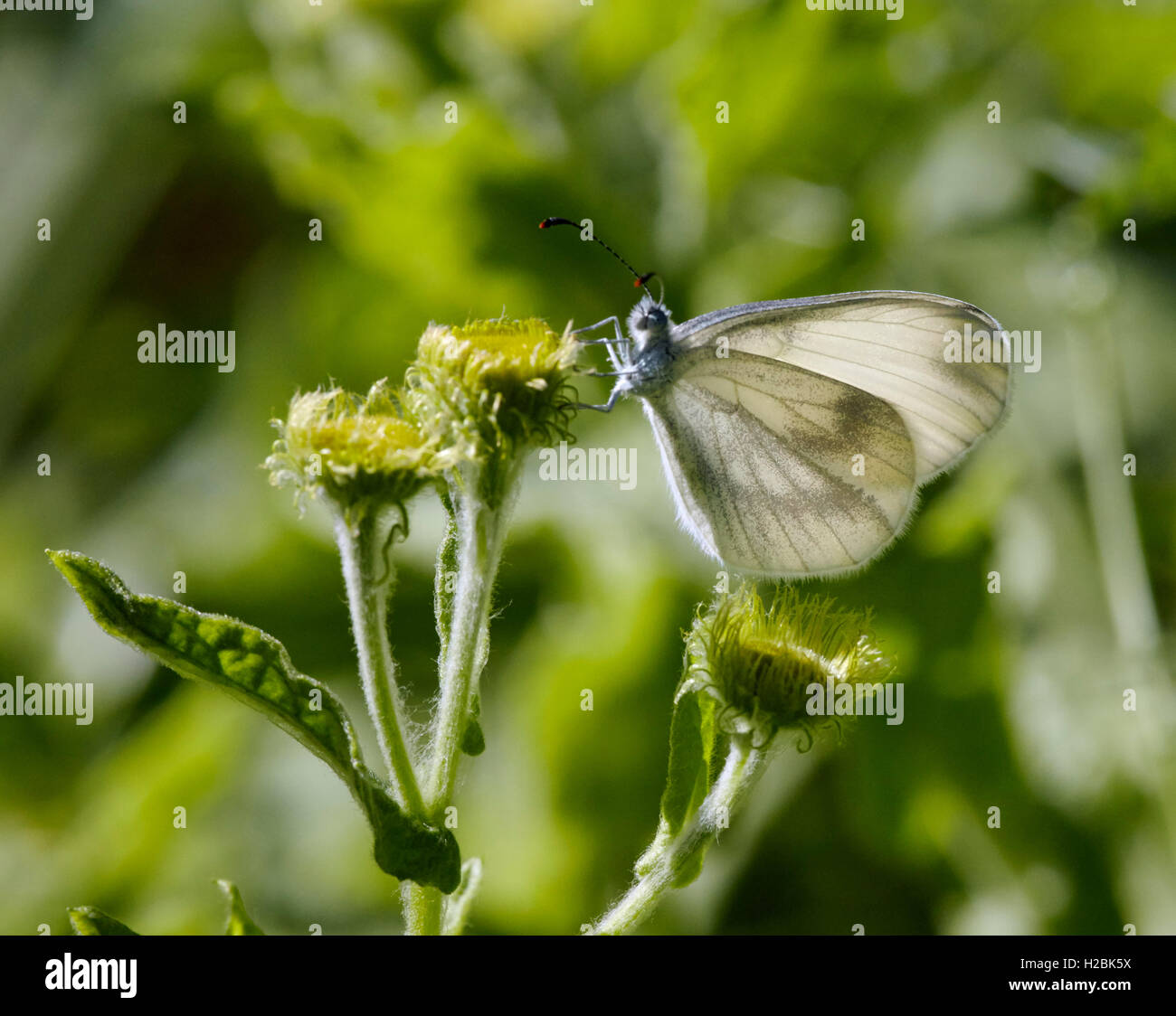 Wood White butterfly perched on flower head.  Chiddingfold Forest, Surrey, England. - Stock Image
