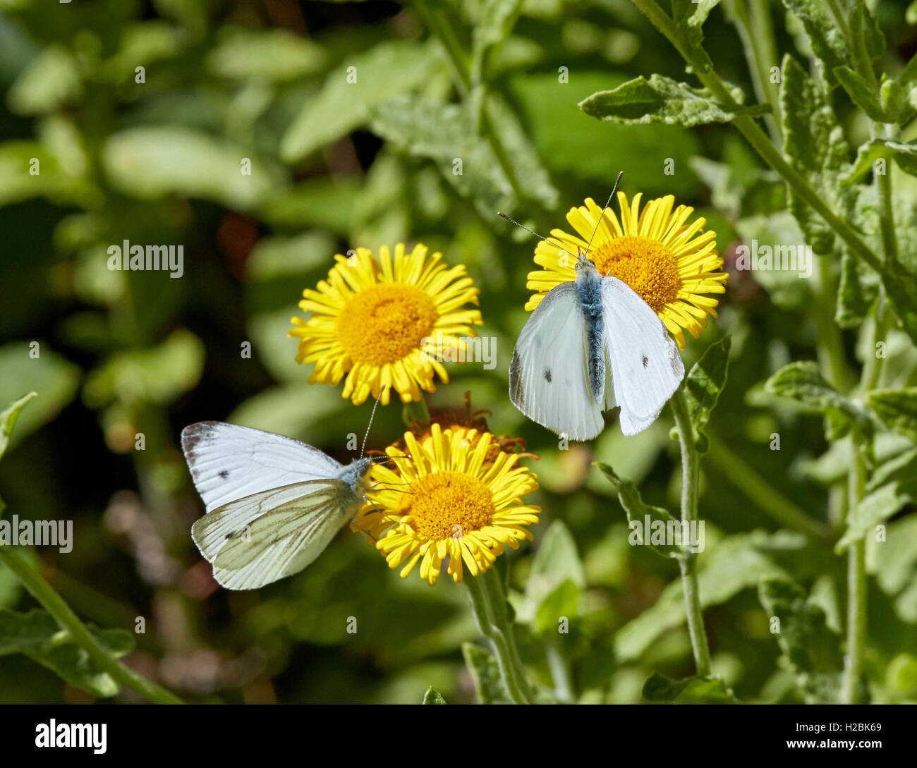 Green-veined White and Small White nectaring on common fleabane. Chiddingfold Forest, Surrey, England. - Stock Image