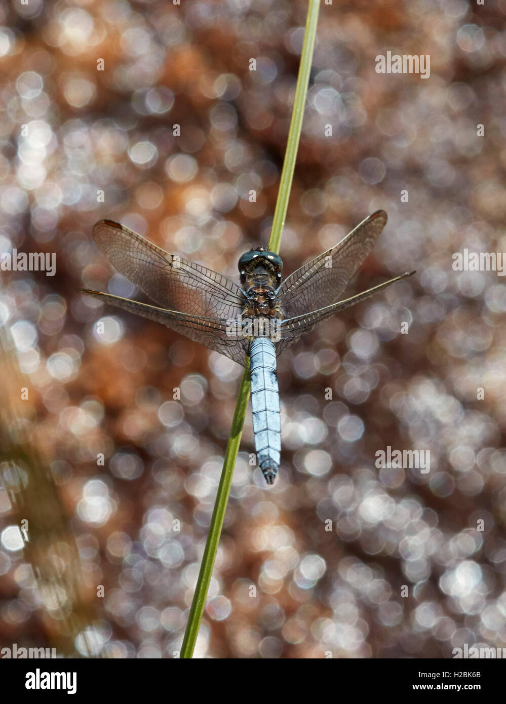 Keeled Skimmer dragonfly perched on reed. Thursley Common, Surrey, England. - Stock Image