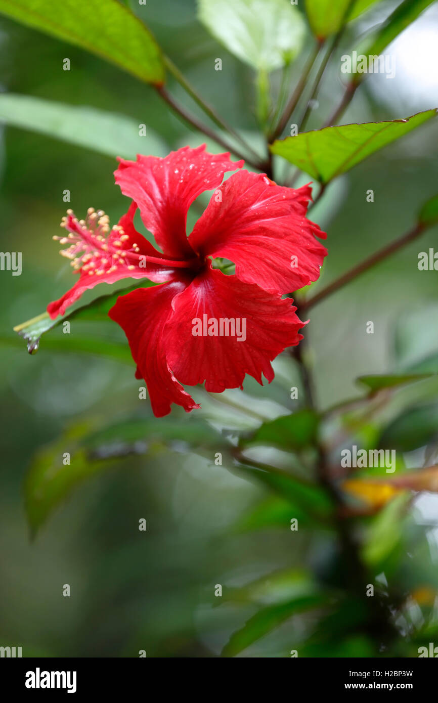 Red Flowers And Caribbean Stock Photos Red Flowers And Caribbean
