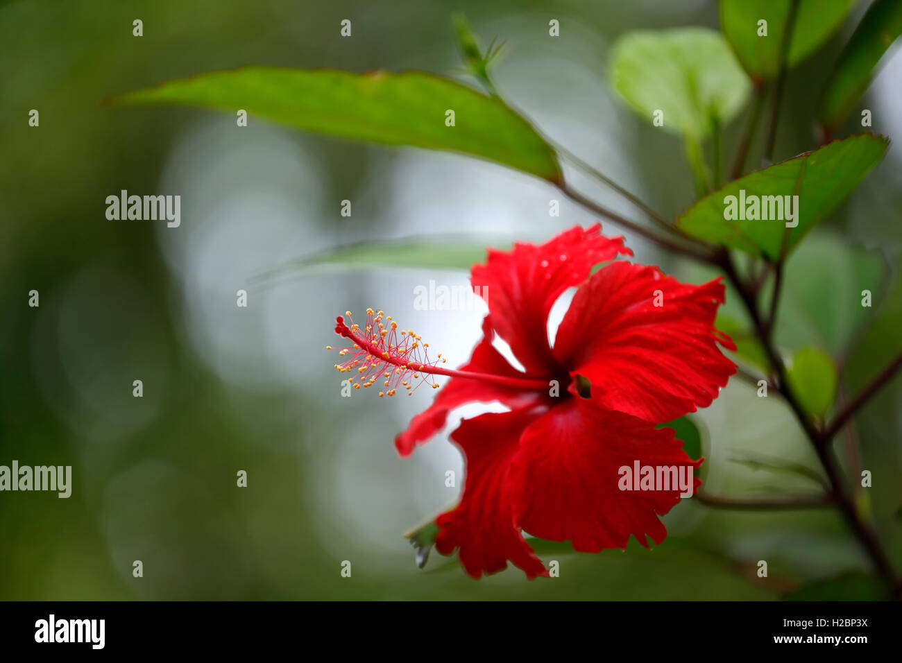 Red flowers and caribbean stock photos red flowers and caribbean puerto rican hibiscus amapola thespesia grandiflora caribbean national forest el yunque izmirmasajfo Choice Image