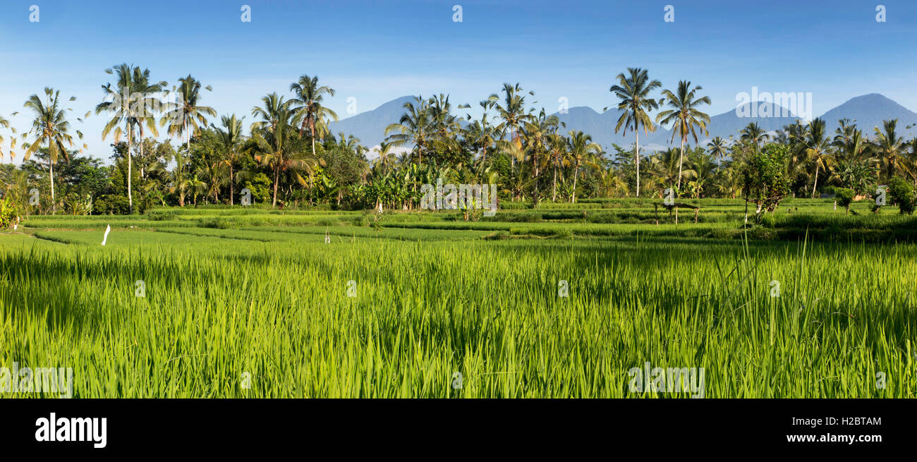 Indonesia, Bali, Susut, rice growing in fields wih western volcanoes (Gunung Batukaru, Leson, Pohen, Tapak, Catur) - Stock Image