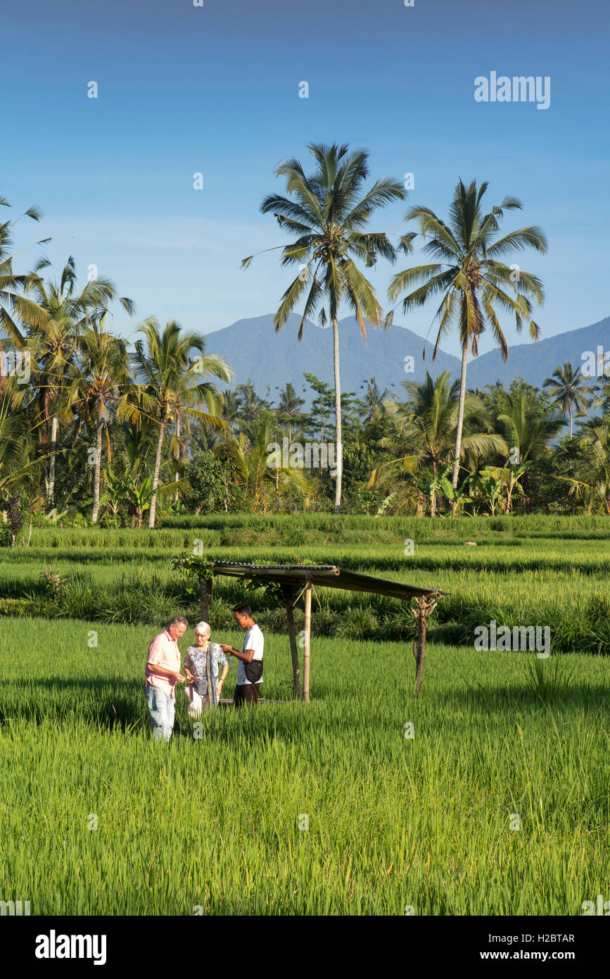 Indonesia, Bali, Payangan, Susut, tourists in rice fields wih western volcanoes in distance - Stock Image