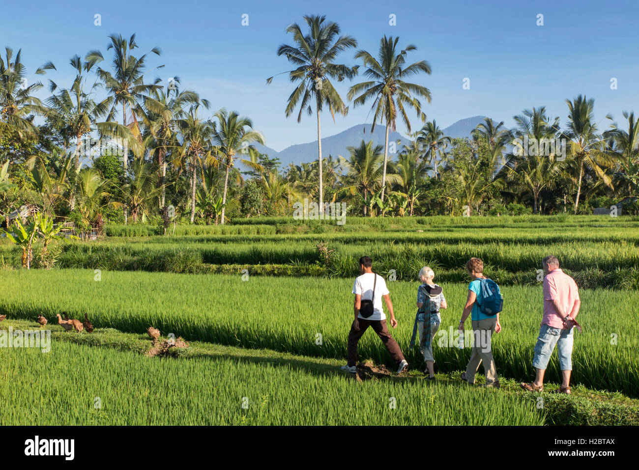 Indonesia, Bali, Payangan, Susut, tourists walking through rice fields with western volcanoes in distance - Stock Image