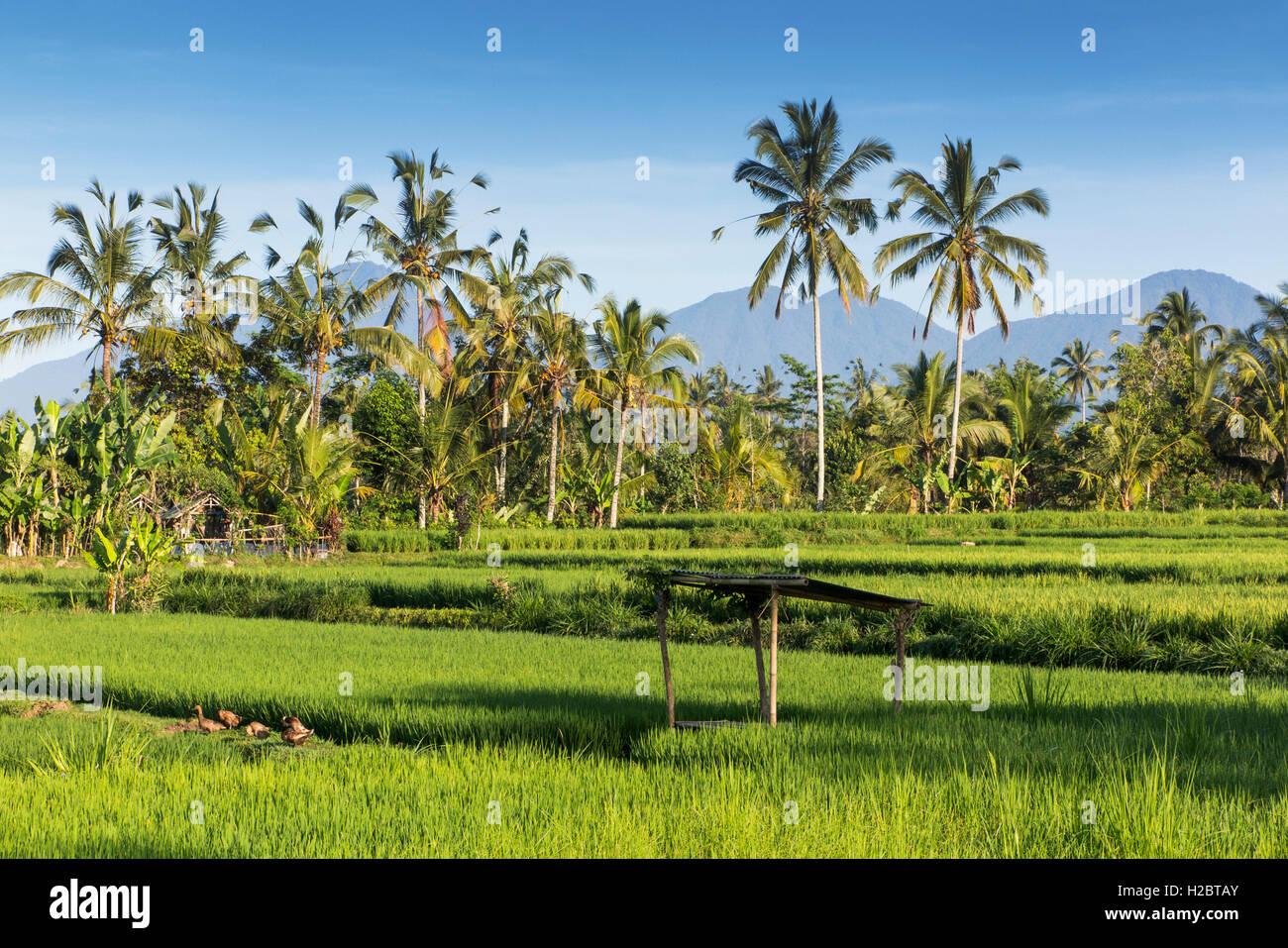 Indonesia, Bali, Payangan, Susut, rice fields wih western volcanoes in distance - Stock Image