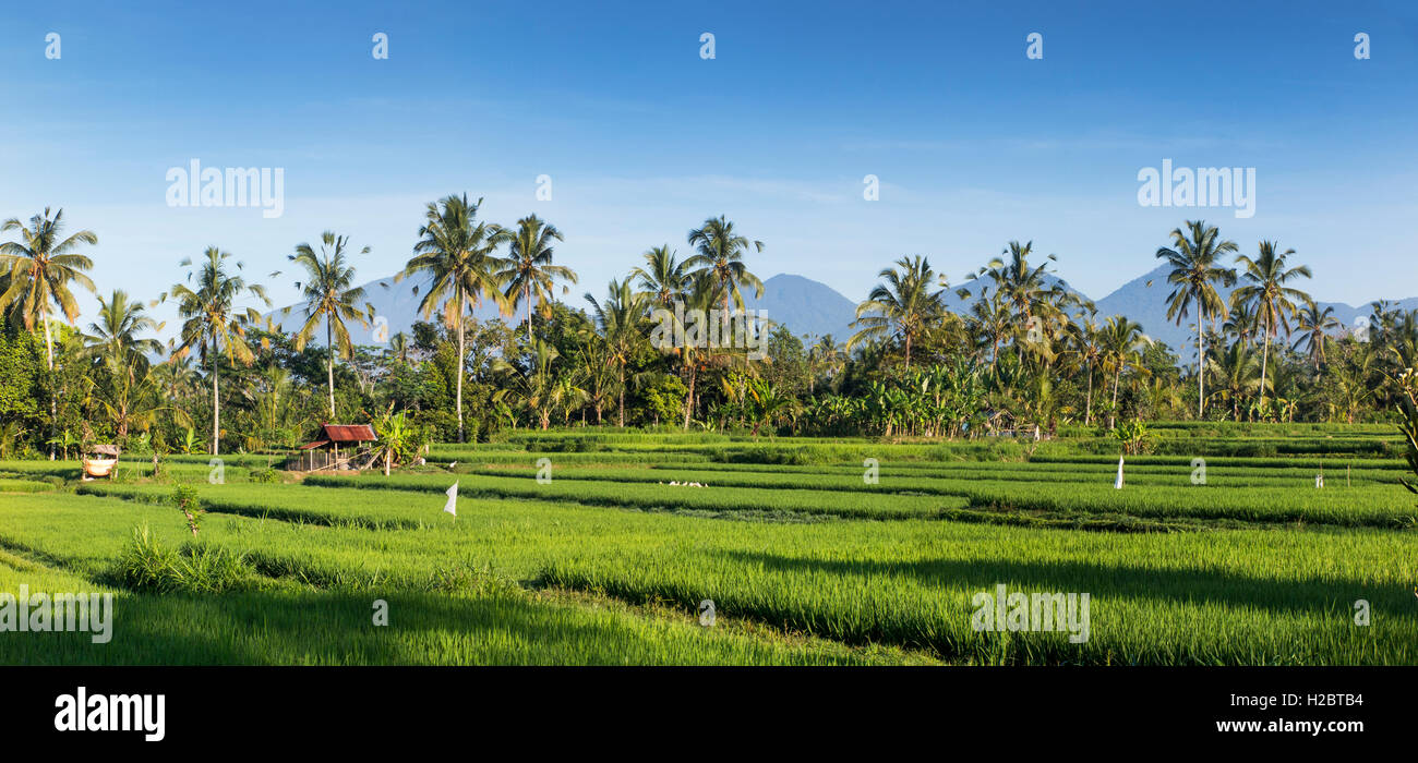 Indonesia, Bali, Payangan, Susut, rice fields with western volcanoes in distance, panoramic - Stock Image