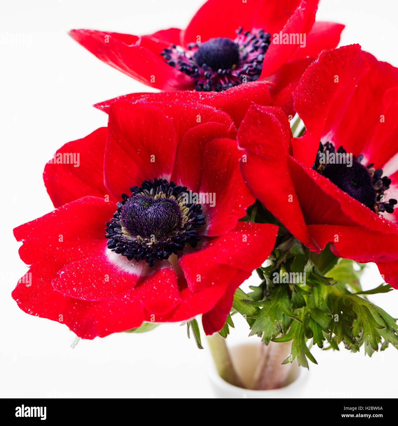 Red anemone flowers bouquet in a glass vase white background stock red anemone flowers bouquet in a glass vase white background izmirmasajfo