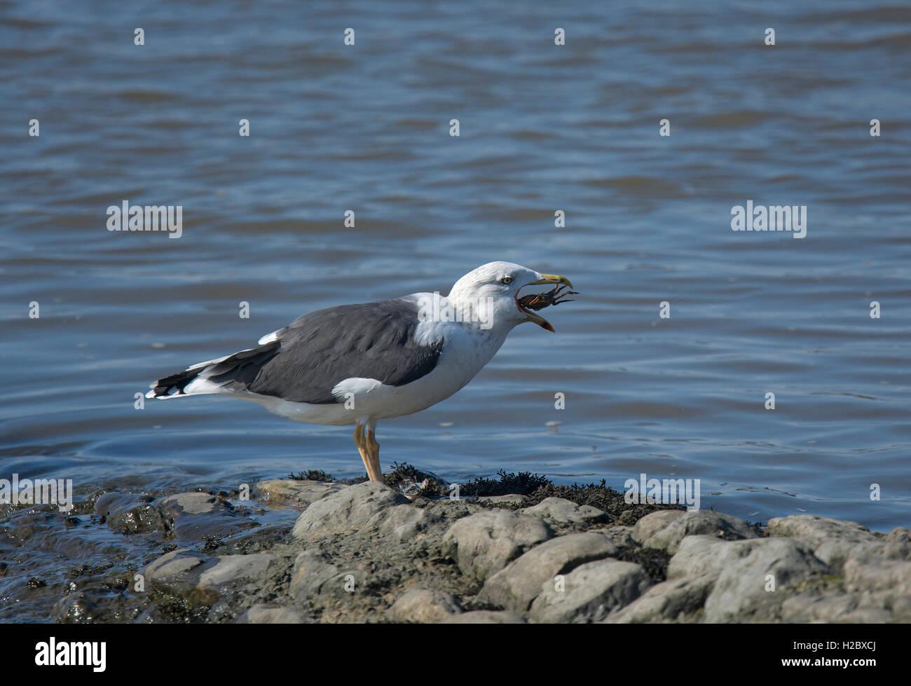 Herring Gull, larus argentatus, swallowing crab, Lancashire, England, UK - Stock Image