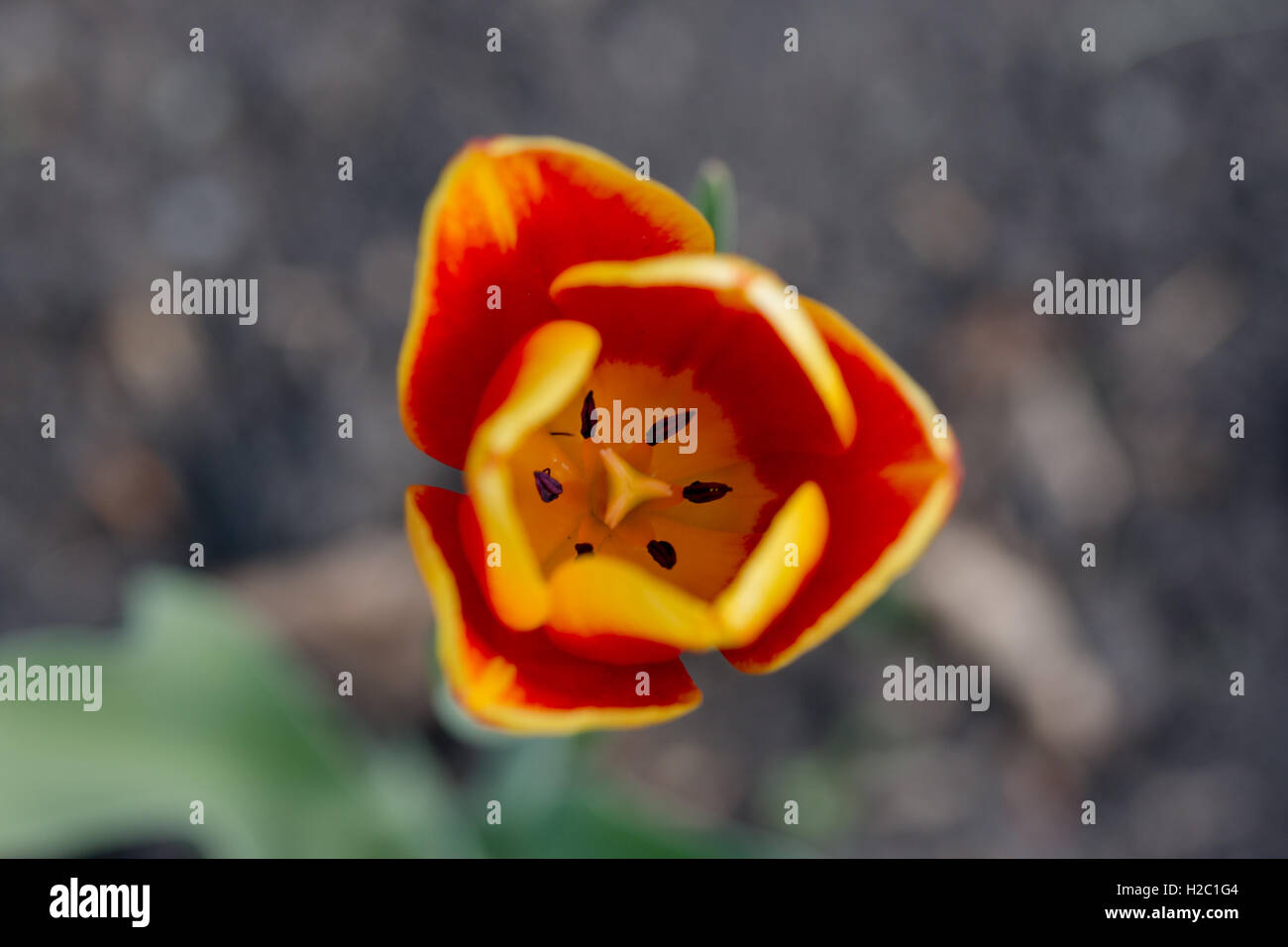 tulip's large flowers usually bloom on scapes with leaves in a rosette at ground level and a single flowering stalk Stock Photo