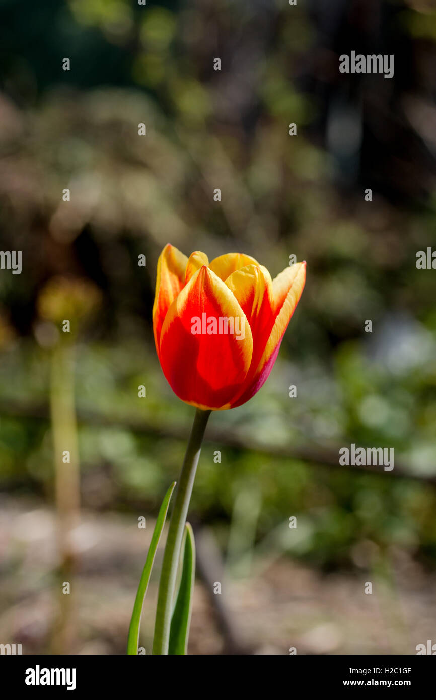 Tulips are spring-blooming perennials that grow from bulb Stock Photo