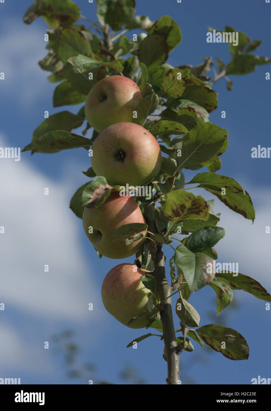 Four apples on branch of apple tree - Stock Image