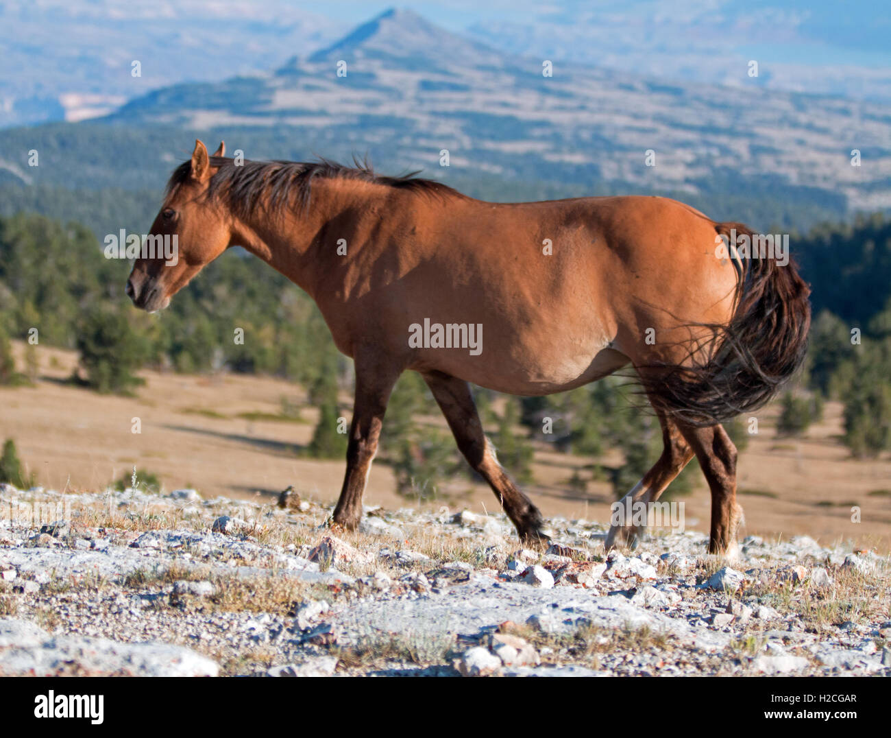 Wild Horse Dun Buckskin Mare on Tillett Ridge above Teacup Bowl in ...