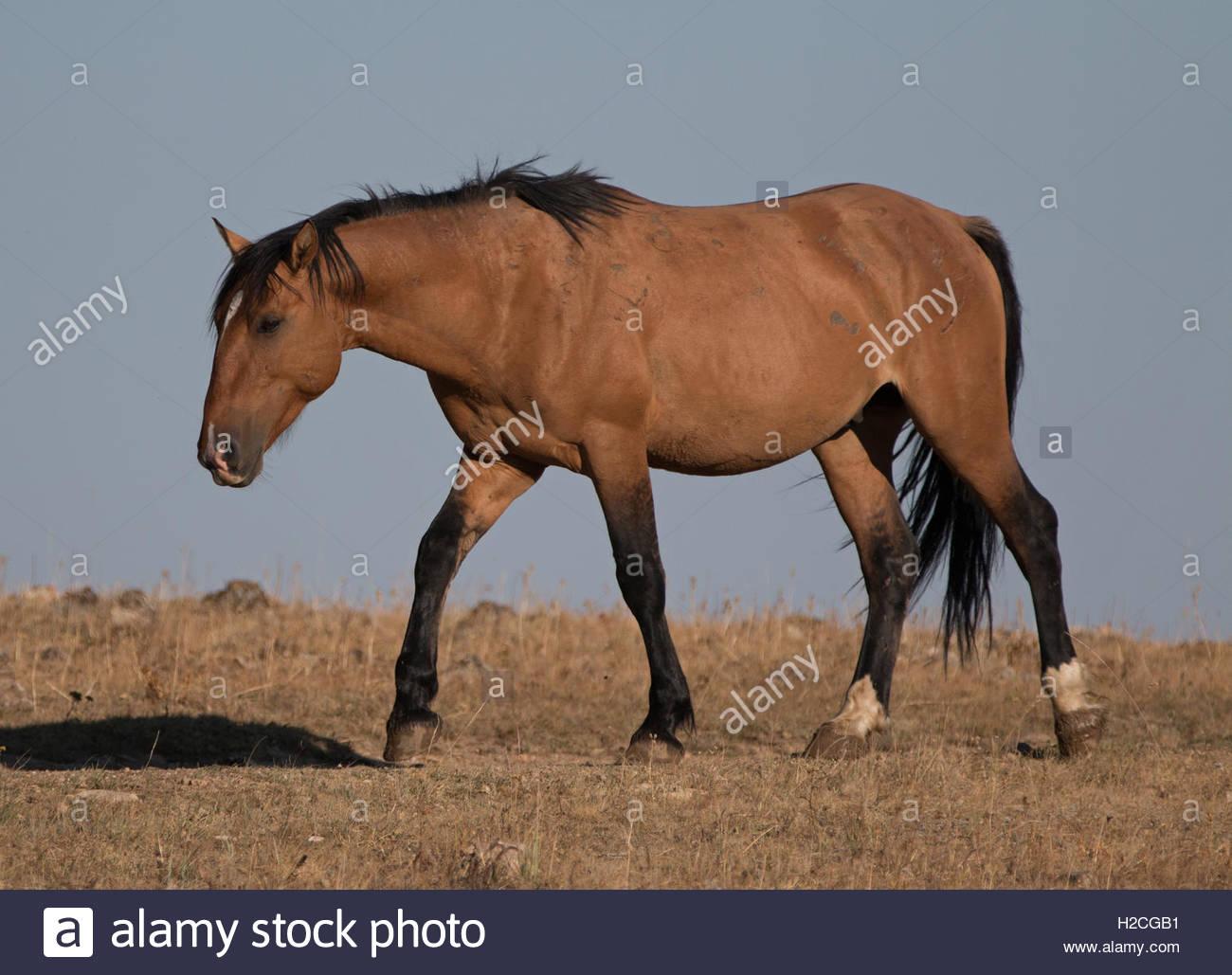 Sunlit Wild Horse Dun Buckskin Stallion on Tillett Ridge above ...