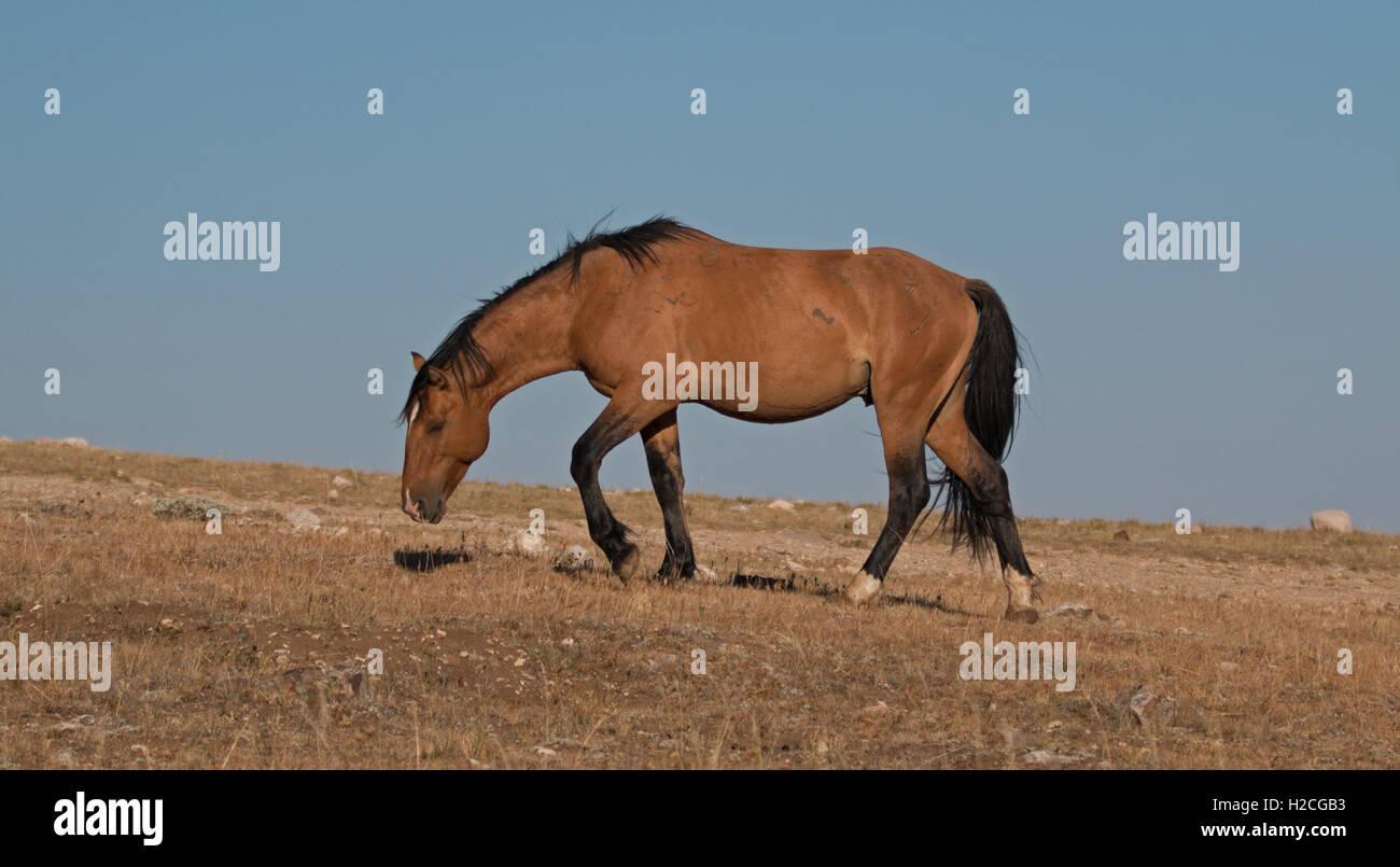Wild Horse Dun Buckskin Stallion on Tillett Ridge above Teacup Bowl ...