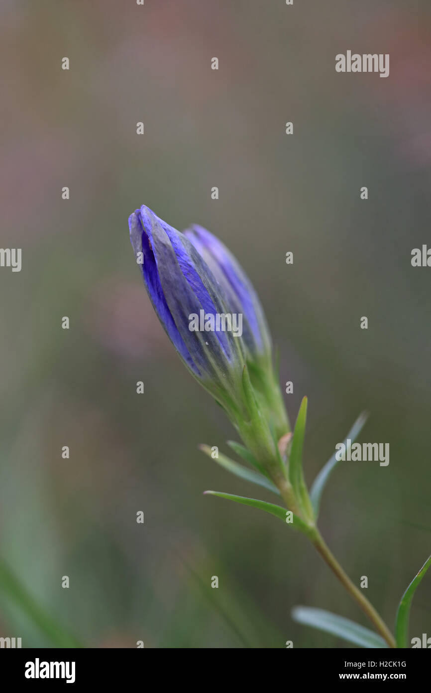 Marsh Gentian (Gentiana pneumonanthe) - Stock Image