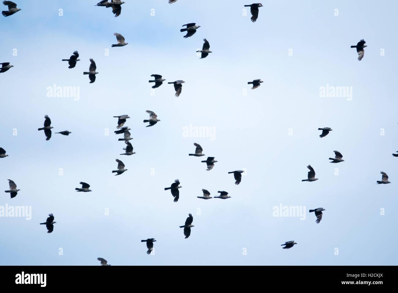 Flock of birds flying in the sky - Stock Image