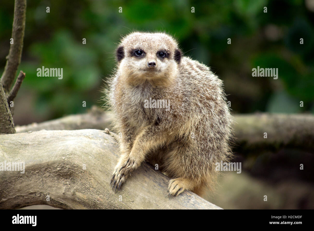 A small Meercat sitting on the branch of a tree, looking into the lens. - Stock Image