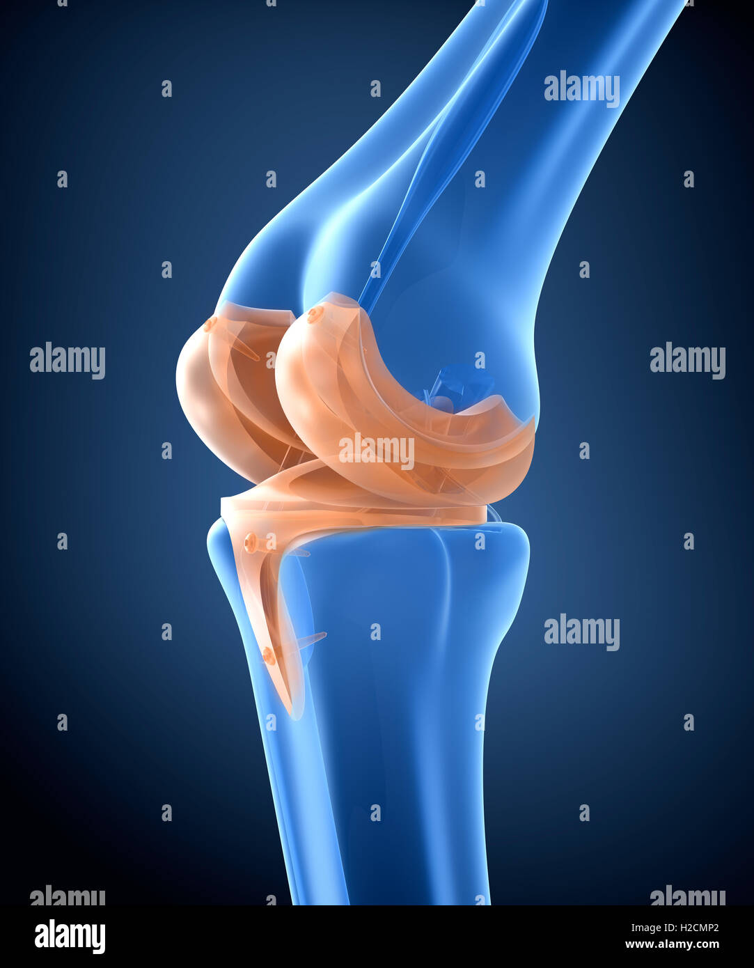 Hinge Joint Stock Photos & Hinge Joint Stock Images - Alamy Hinge Joint Knee