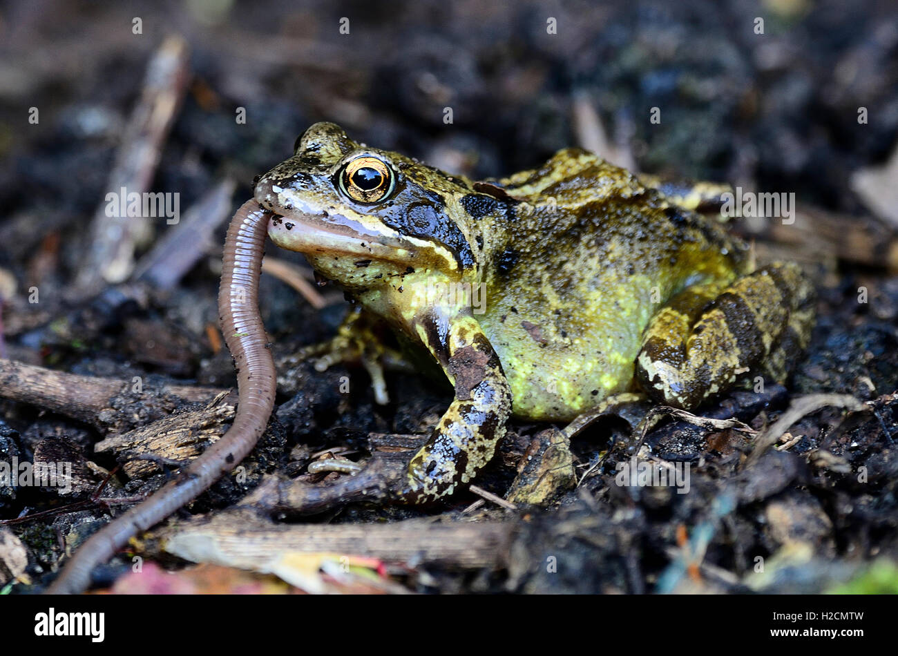 Common frog eating a worm UK - Stock Image