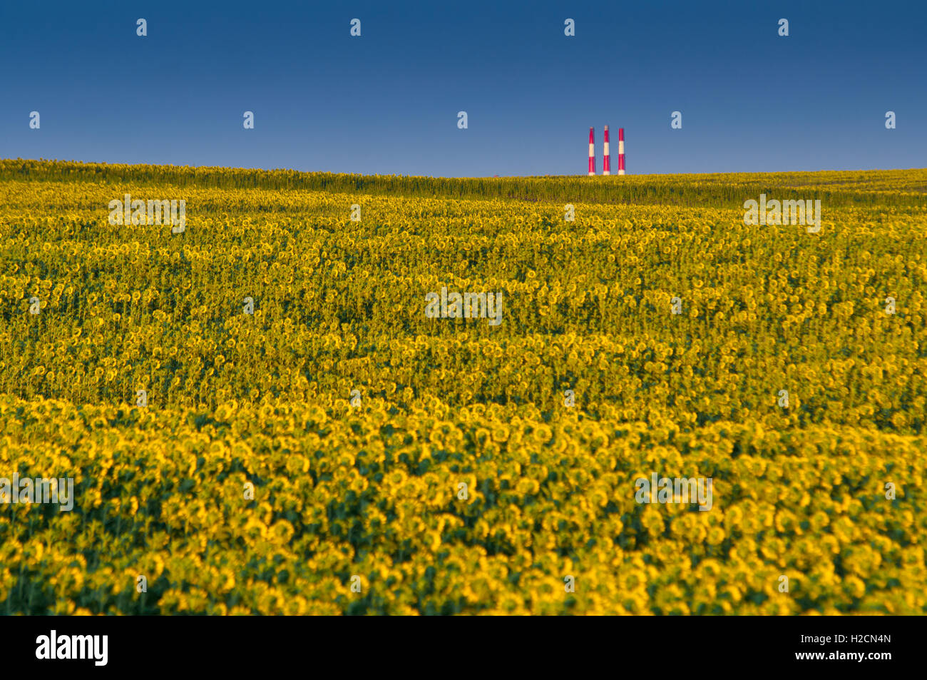 Green mustard in Orenburg