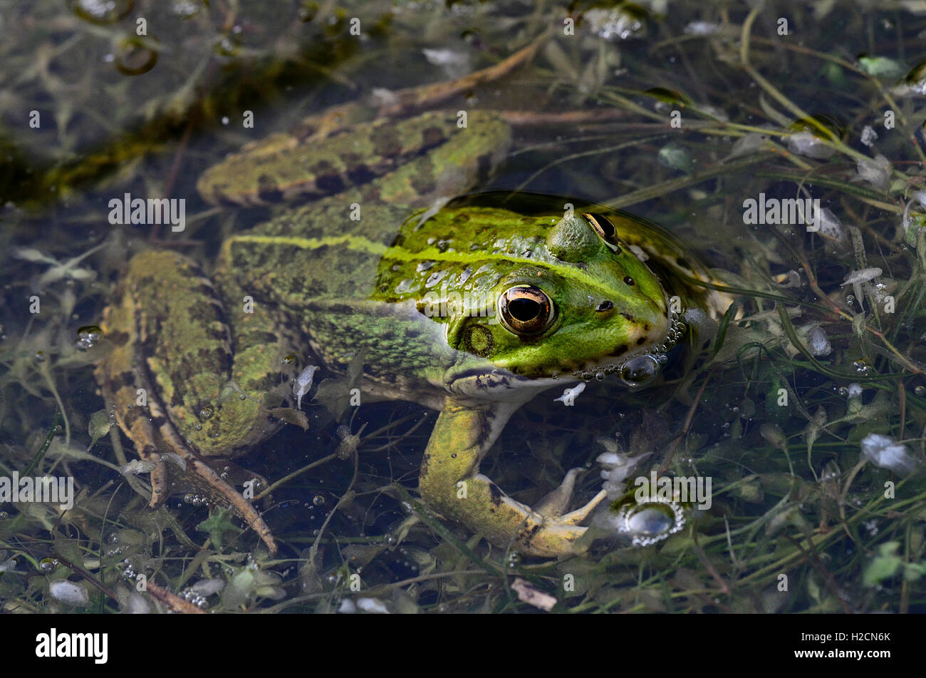 A marsh frog in water UK Stock Photo