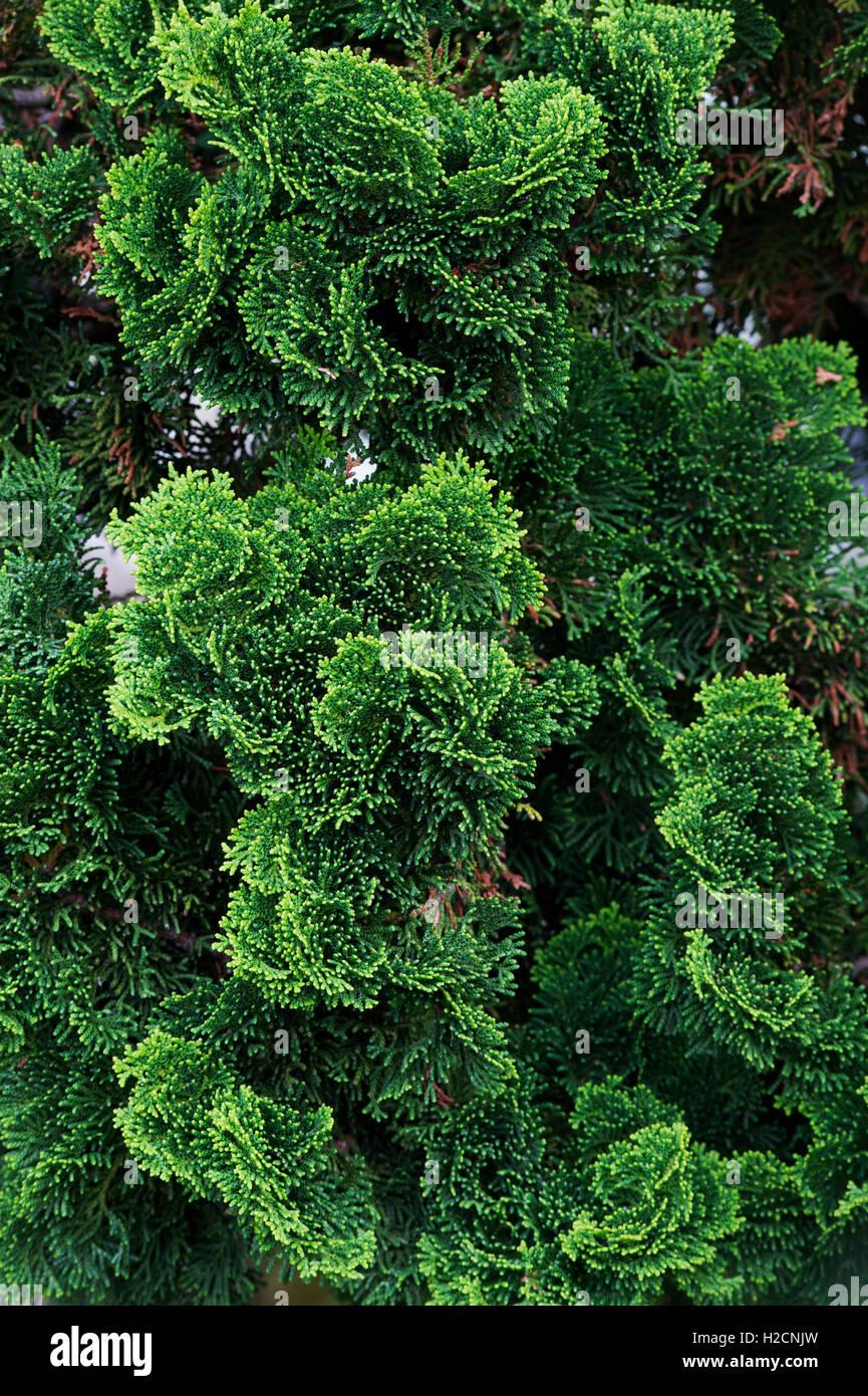 chamaecyparis obtusa 39 nana gracilis 39 hinoki cypress 39 nana. Black Bedroom Furniture Sets. Home Design Ideas