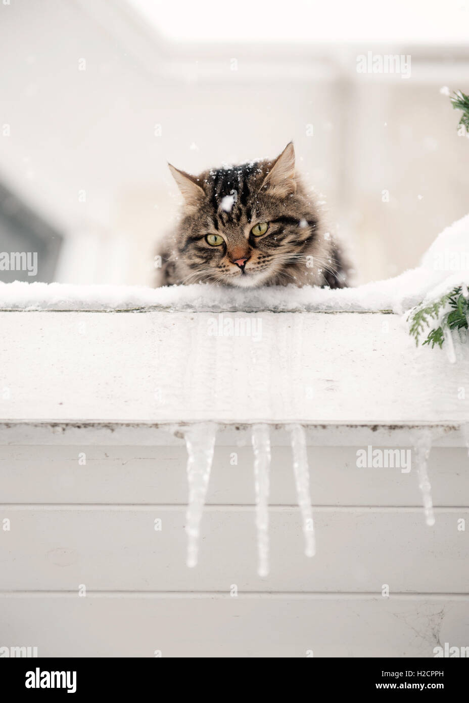 Fluffy tabby cat in snow,Istanbul - Stock Image