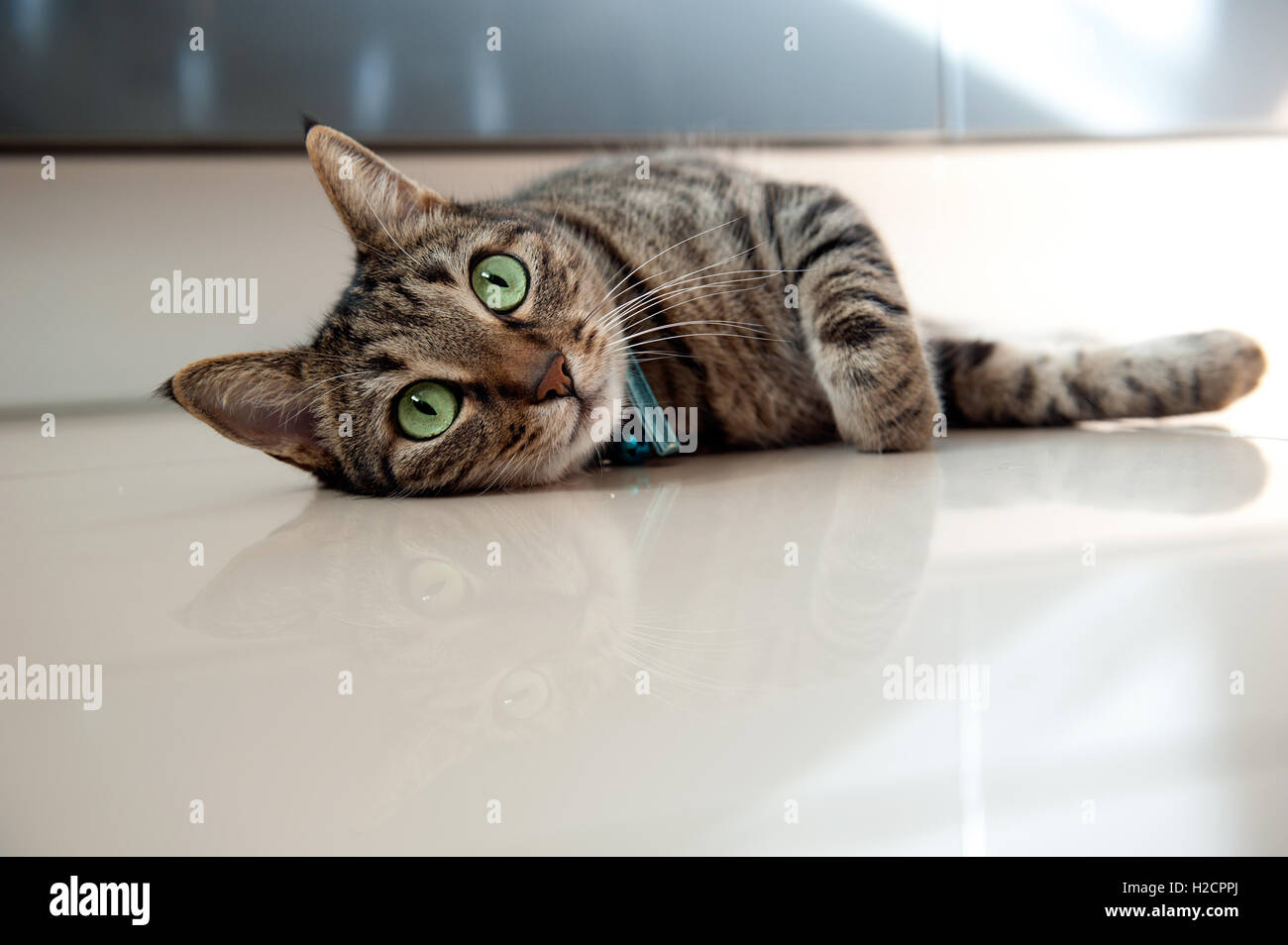 Tabby cat lying on side,looking at camera - Stock Image