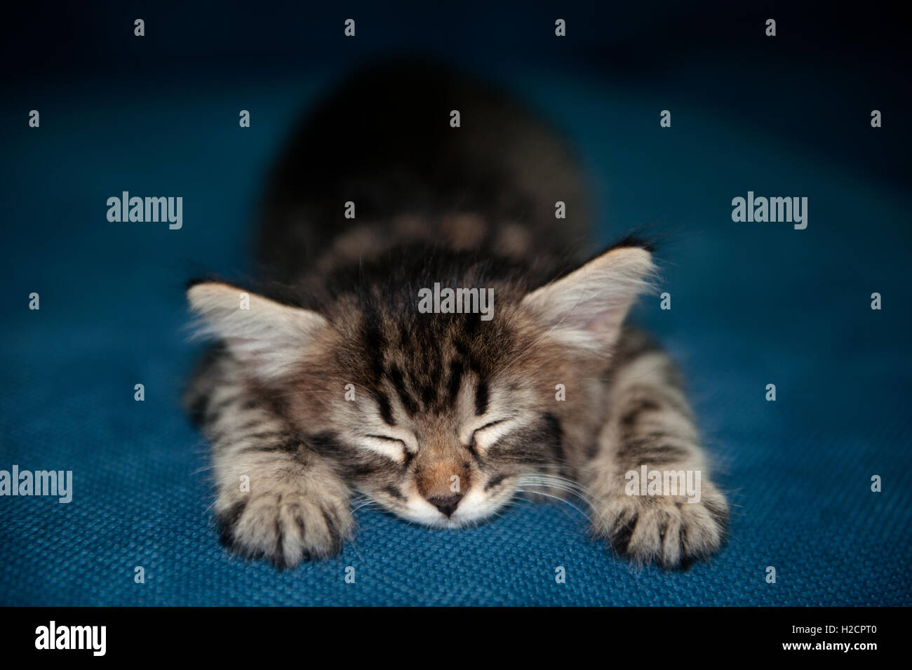 BabyTabby Kitten Sleeping - Stock Image
