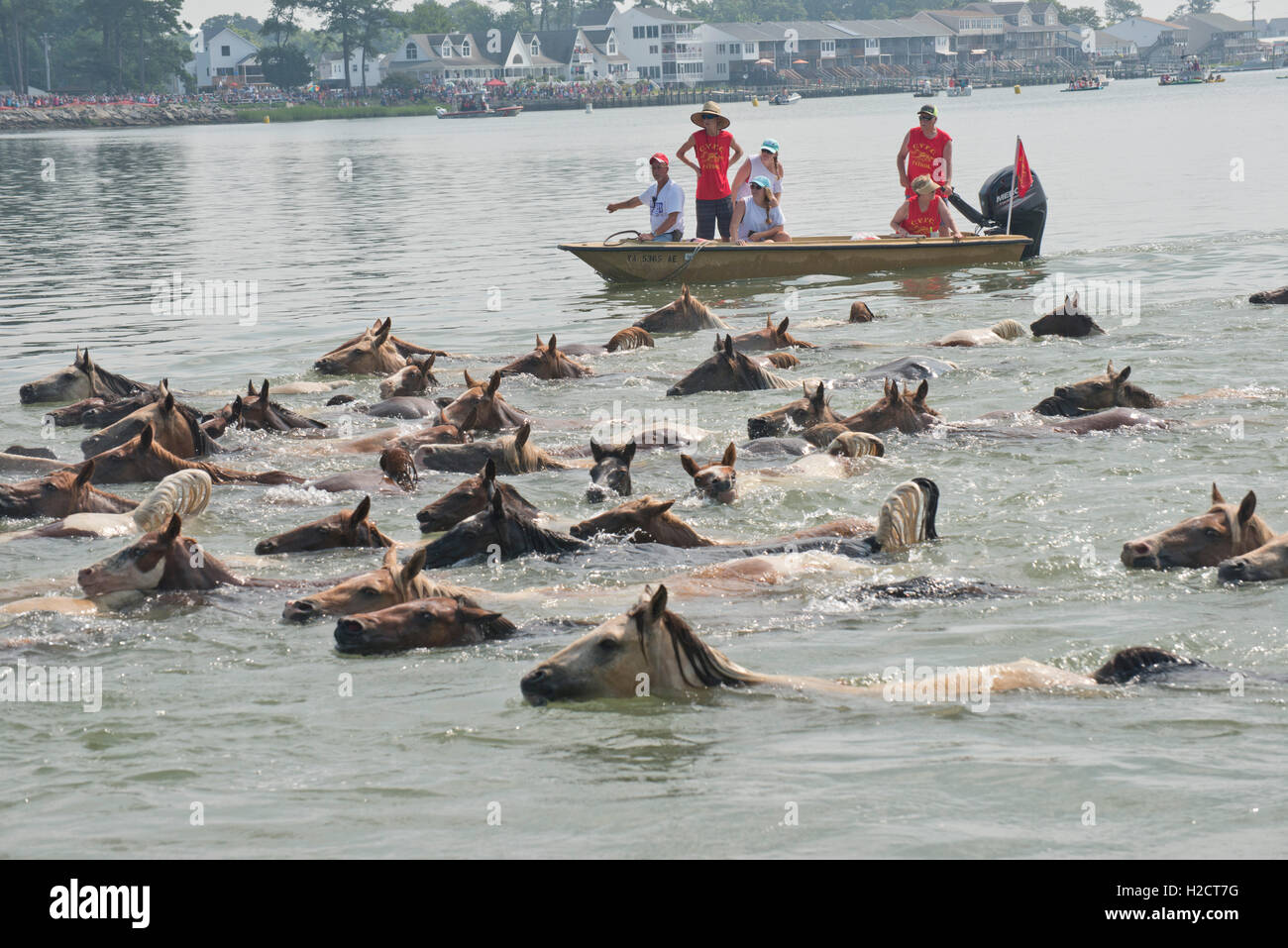 Chincoteague Volunteer Fire Co. volunteers on a nearby boat direct a herd of wild ponies as they swim across the - Stock Image