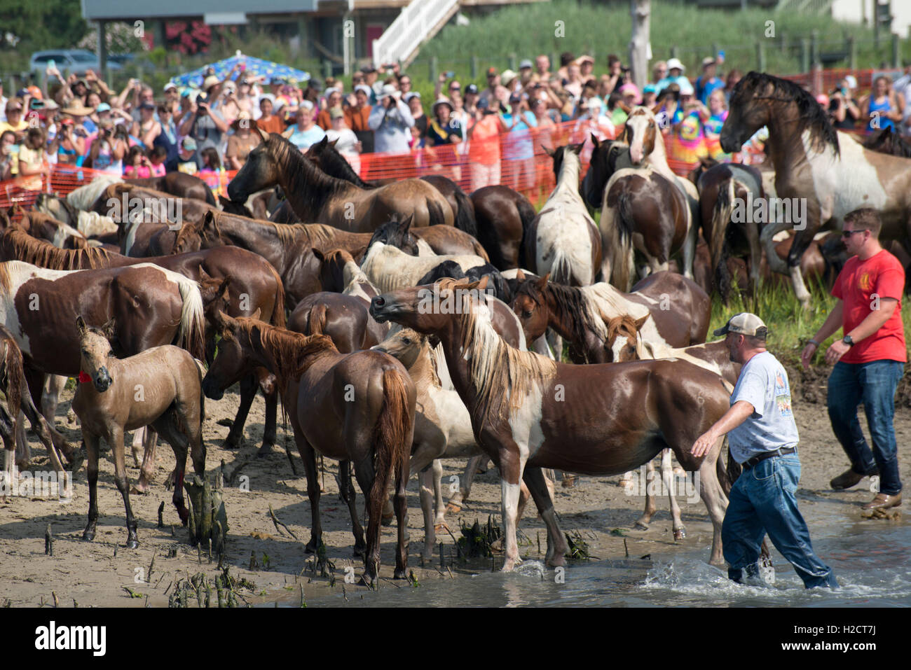 Volunteers help round up herds of wild ponies arriving on the beach shore after completing the 91st annual Pony - Stock Image