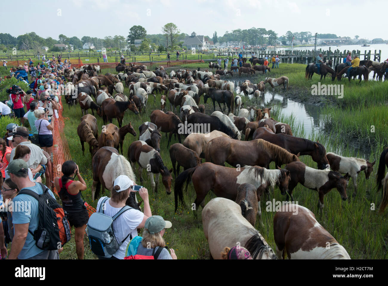Spectators watch as a herd of wild ponies graze on grass in a fenced corral near the beach after after completing - Stock Image