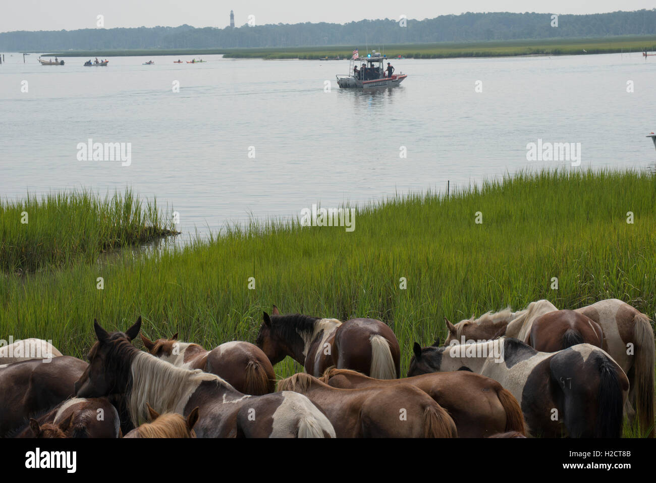 A herd of wild ponies graze on grass near the beach after after completing the 91st annual Pony Swim across the - Stock Image