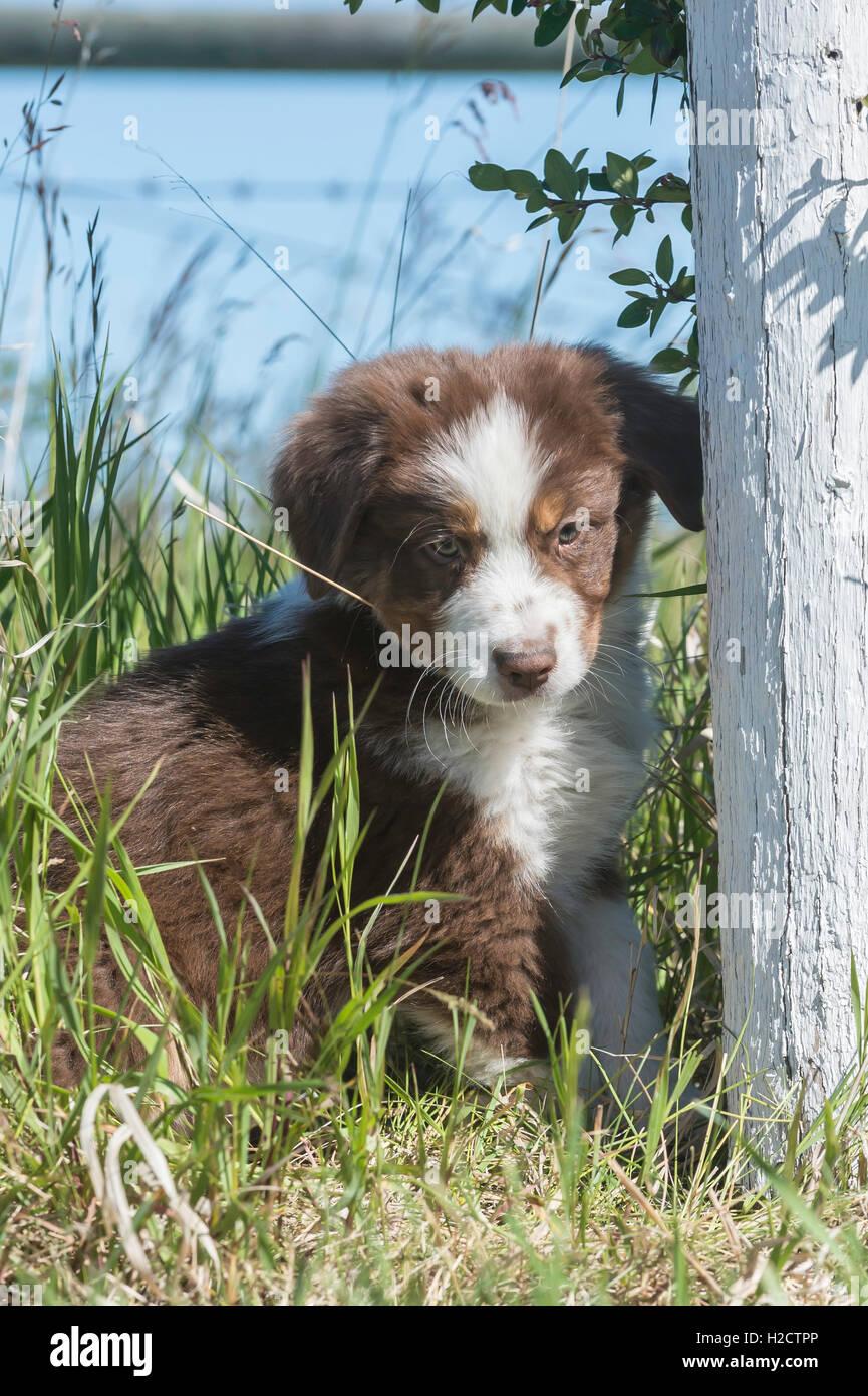 Eight-week-old  Red Tri Australian shepherd dog, puppy Stock Photo