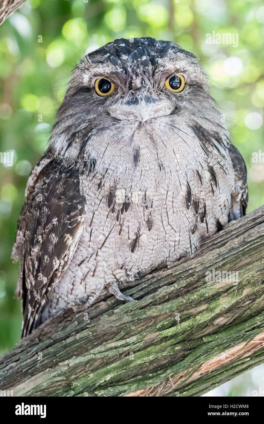 Tawny Frogmouth owl bird in a tree. - Stock Image