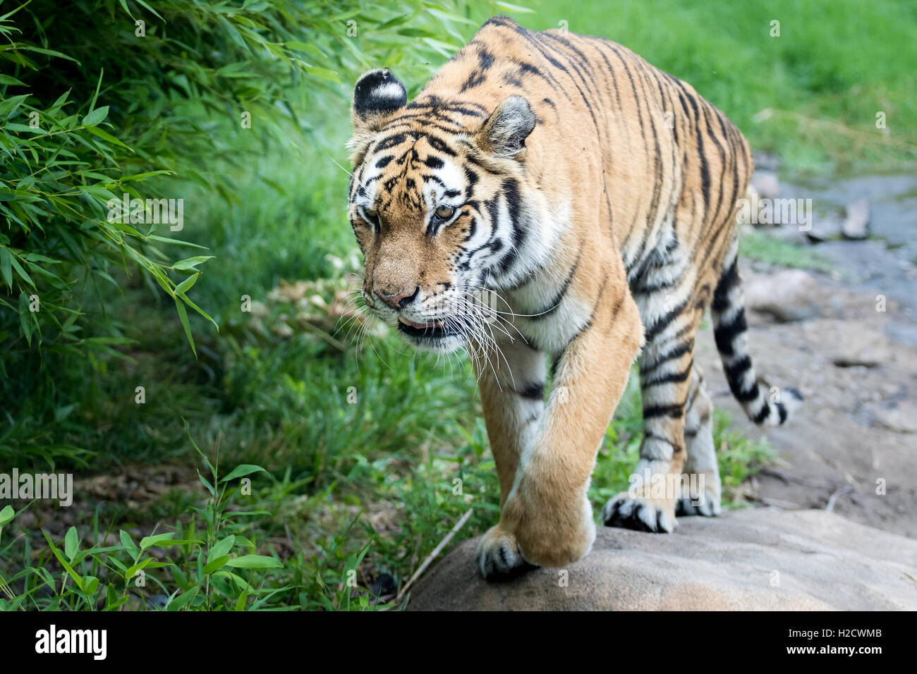 A tiger walking in a field. - Stock Image