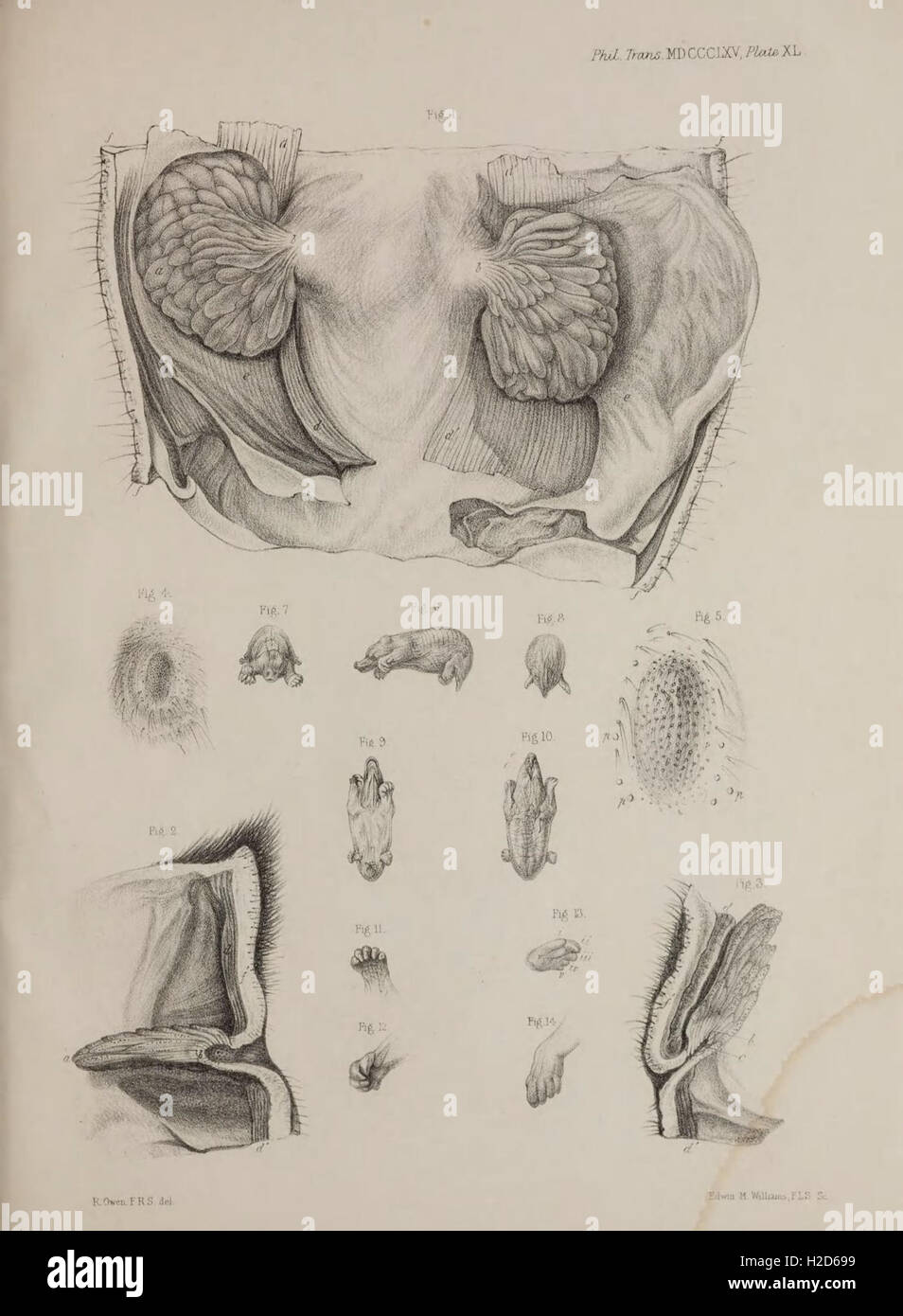 On the marsupial pouches, mammary glands and mammary foetus of the ...