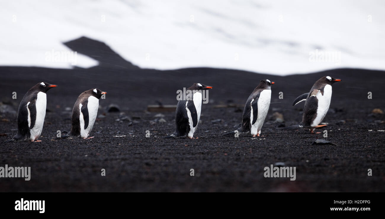 Gentoo Penguins, their backs to a howling wind, walk down the beach on Deception Island, Antarctica., Chile, Argentina, - Stock Image
