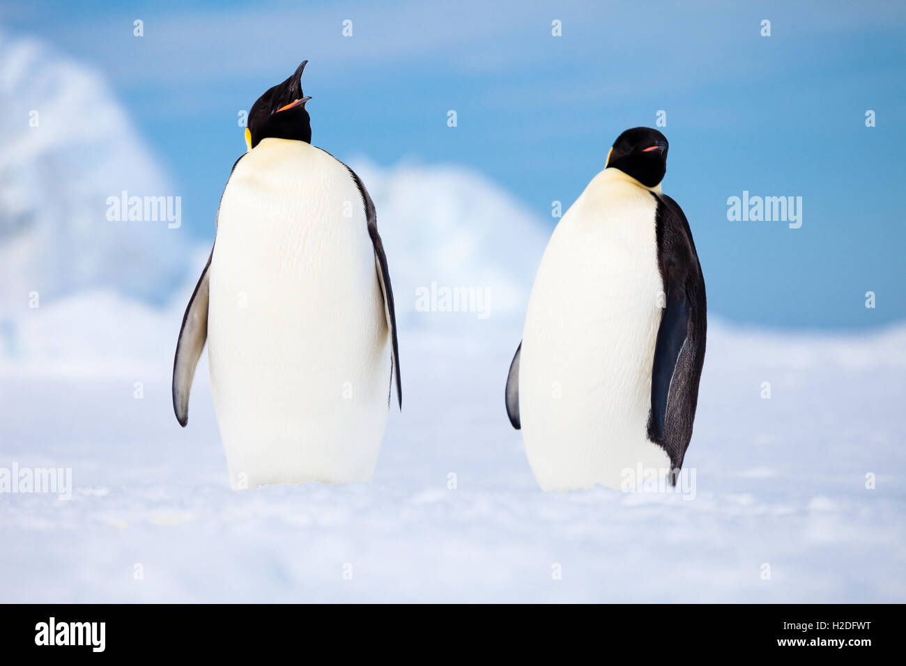 Two emperor penguins hanging out on an ice shelf, coastal Antarctica - Stock Image