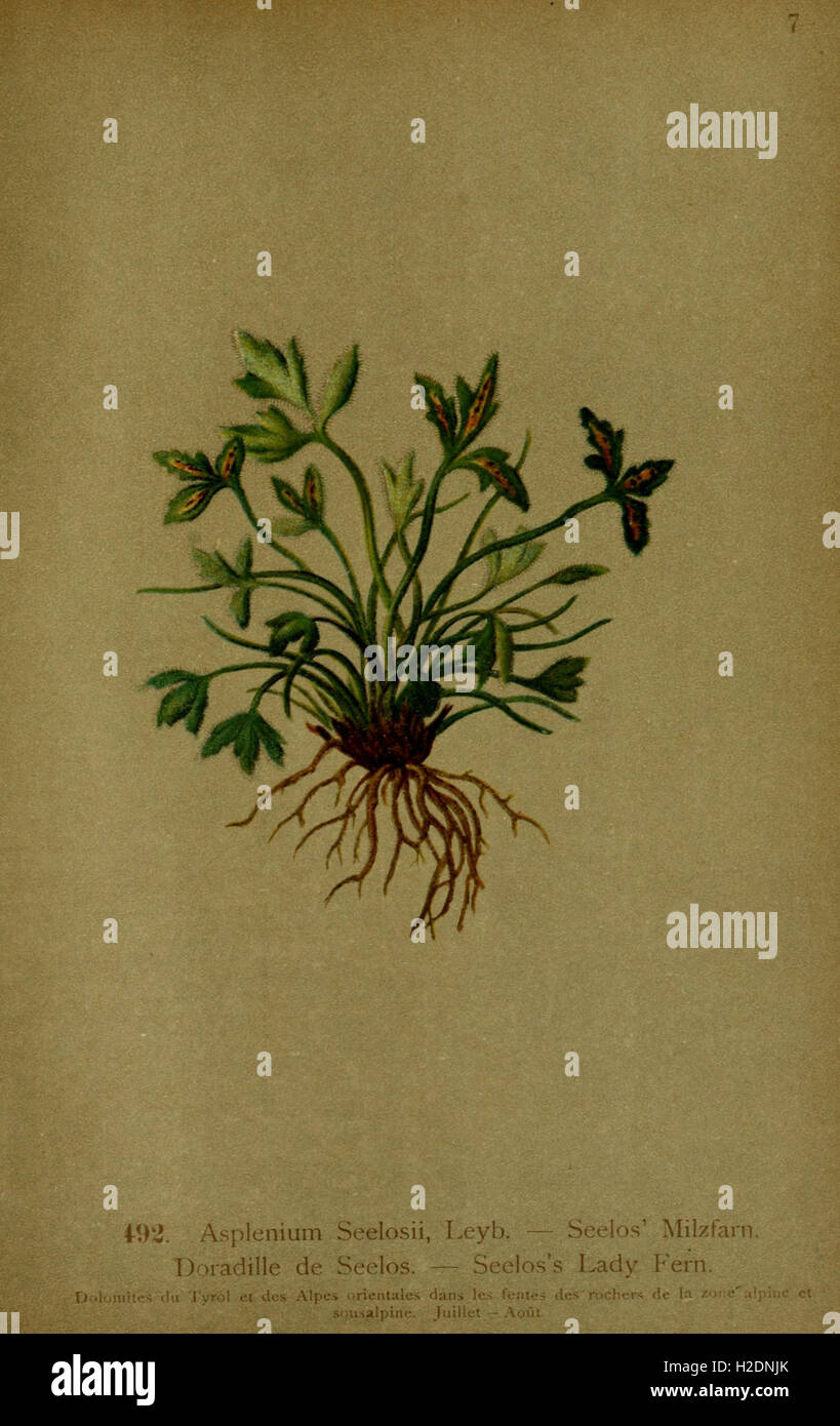 Atlas de la flora alpine (Page 183) Stock Photo
