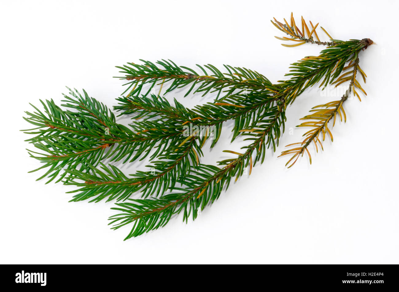 Norway Spruce, Common Spruce (Picea abies), damaged twig with fallen off needles and discoloration of needles. Studio - Stock Image