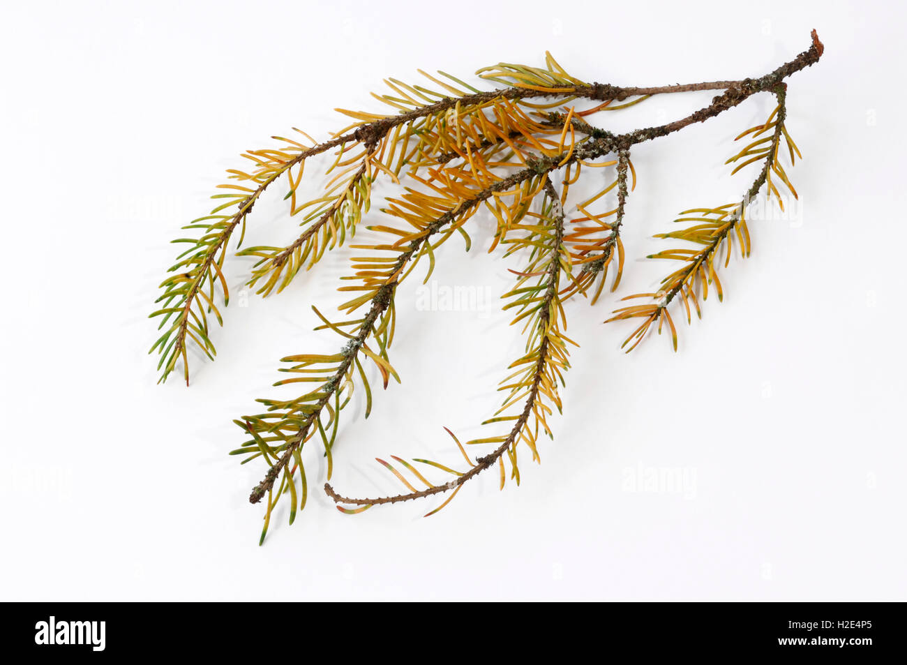 Norway Spruce, Common Spruce (Picea abies). Seriously damaged twig with fallen off needles and discoloration of - Stock Image
