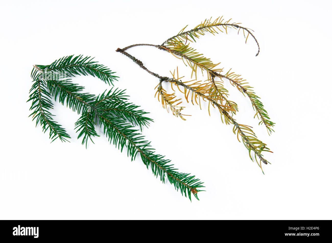 Norway Spruce, Common Spruce (Picea abies). Healthy and seriously damaged twig with fallen off needles and discoloration Stock Photo